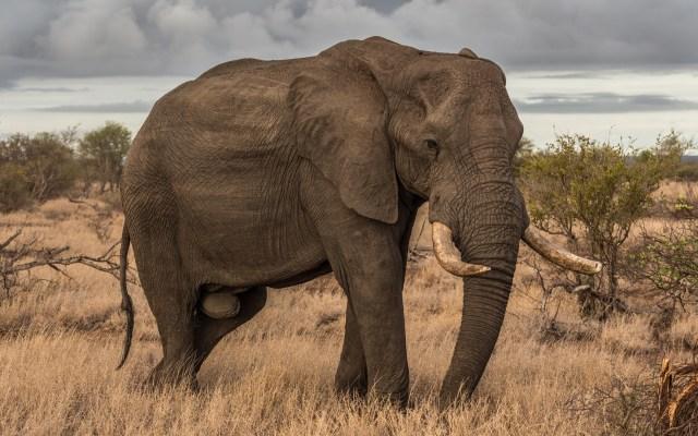 Elefante mata a soldado británico que combatía la caza furtiva - Elefante en Sudáfrica. Foto de Marcus Löfvenberg / Unsplash