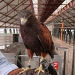 Halcón y espantapájaros contra palomas en estaciones del Metro - halcón estaciones del metro palomas