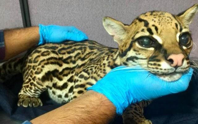 Quitan colmillos a leopardo cachorro para domesticarlo como gato - leopardo