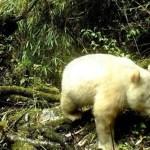 Descubren ejemplar de oso panda albino en China - Oso panda albino. Foto de Xinhua