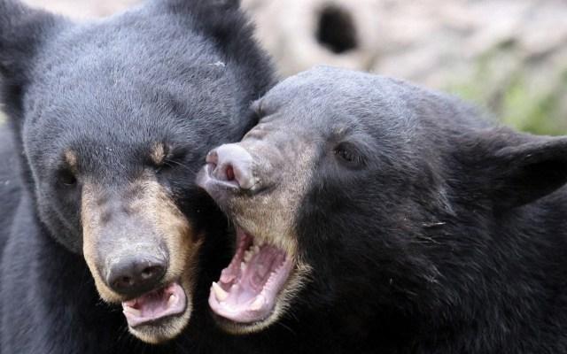 Autoridades piden no alimentar a osos que bajan a zonas habitadas en Coahuila - osos