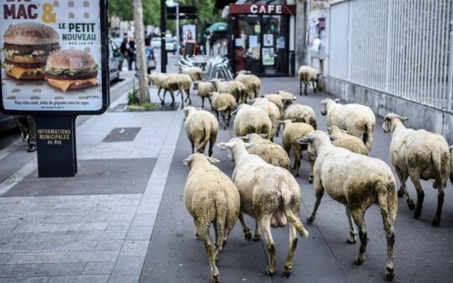 Inscriben a 15 ovejas en escuela rural para evitar cierre de clase - Ovejas. Foto de AFP / Stephane de Sakutin / Getty Images