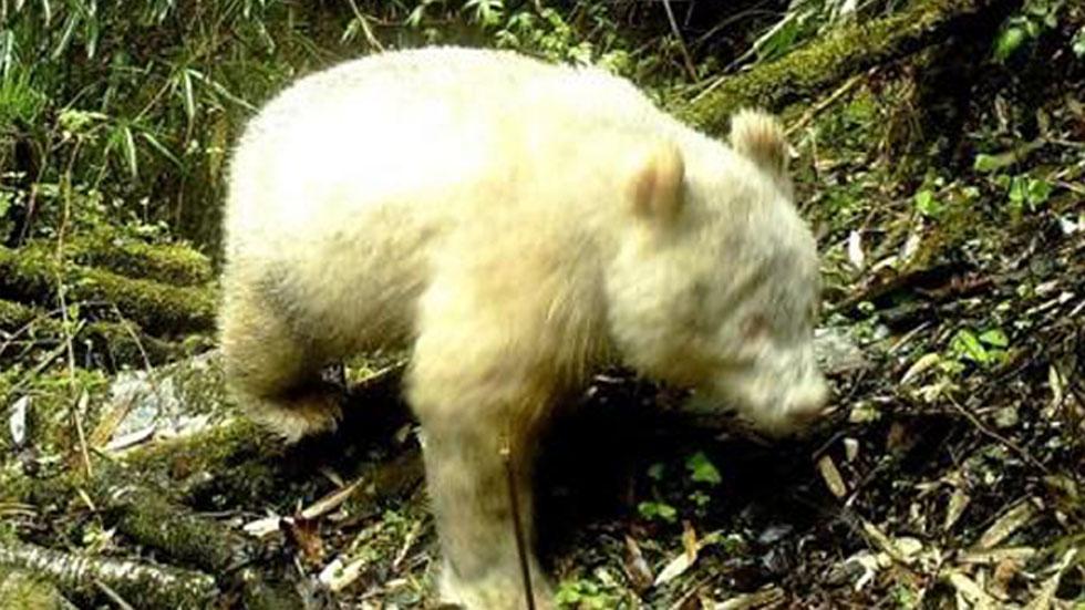 El panda albino fue fotografiado el 20 de abril de 2019. Foto de Xinhua