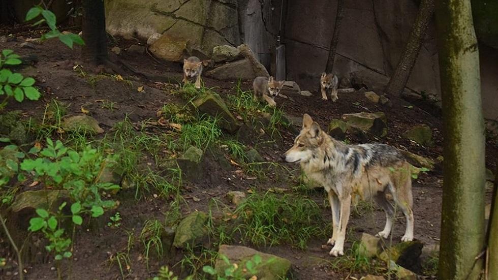 Nacen seis cachorros de lobo mexicano en Zoológico de Chapultepec - Cachorros de lobo mexicano con uno de sus padres. Foto de Sedema