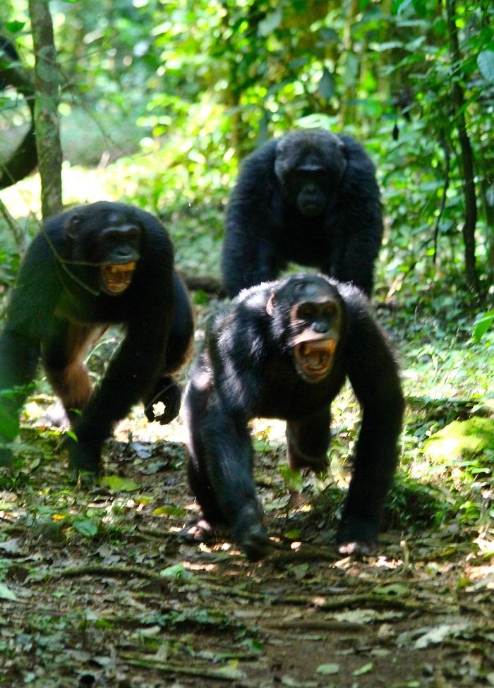 Chimpancés en el Bosque Budongo de Uganda. Foto de Liran Samuni