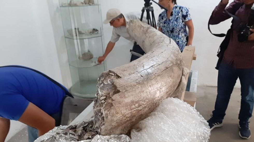#Video Hallan restos de mamut y lobo gigante en Puebla - Colmillo de mamut. Foto de @garturocc
