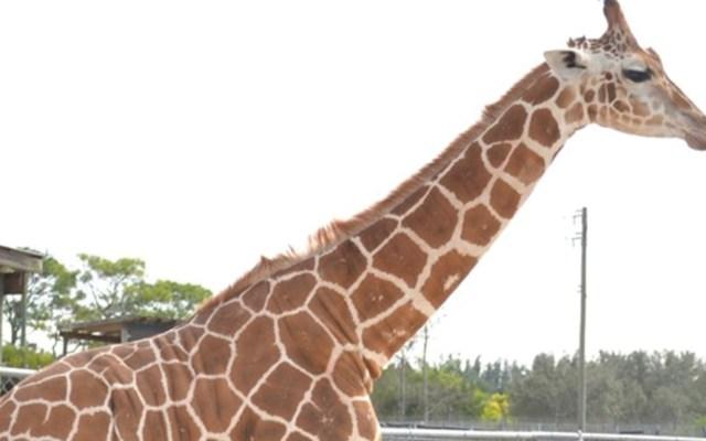 Rayo mata a dos jirafas en Palm Beach - Foto de Facebook Lion Country Safari