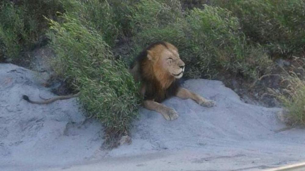 Escapan catorce leones de parque en Sudáfrica - leones sudáfrica
