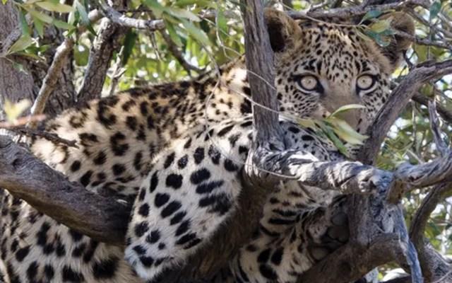 Leopardo mata a niño en parque de Sudáfrica - Foto de The Guardian