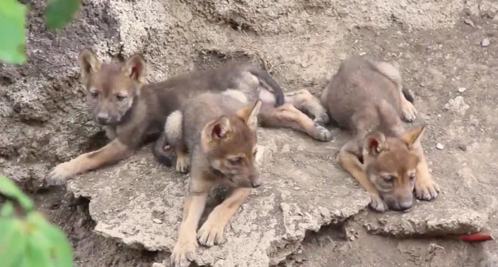 #Video Nacen tres crías de lobo gris mexicano en el Museo del Desierto - Captura de pantalla