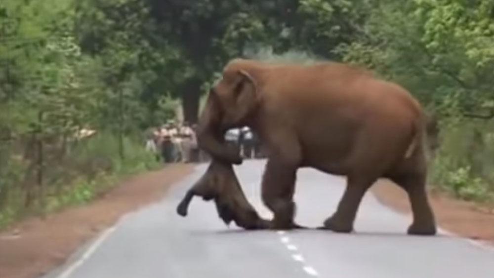 #Video Elefante carga cadáver de su hijo en procesión hacia funeral - Mamá elefante con cadáver de su hijo. Captura de pantalla