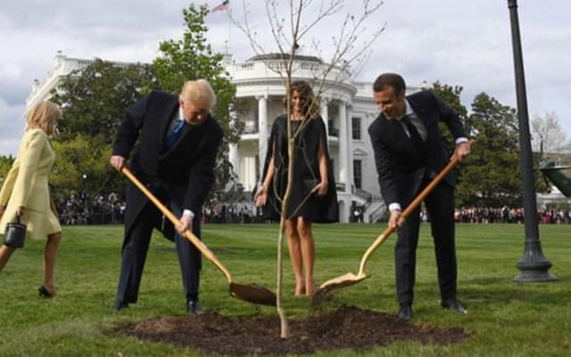 Muere el árbol plantado por Trump y Macron en señal de amistad - muere árbol macron trump