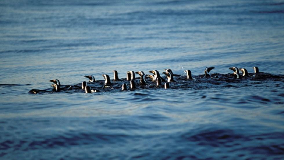 #Video Pingüinos dan de comer a aves marinas - Pingüinos de El Cabo. Foto de Will Pearce
