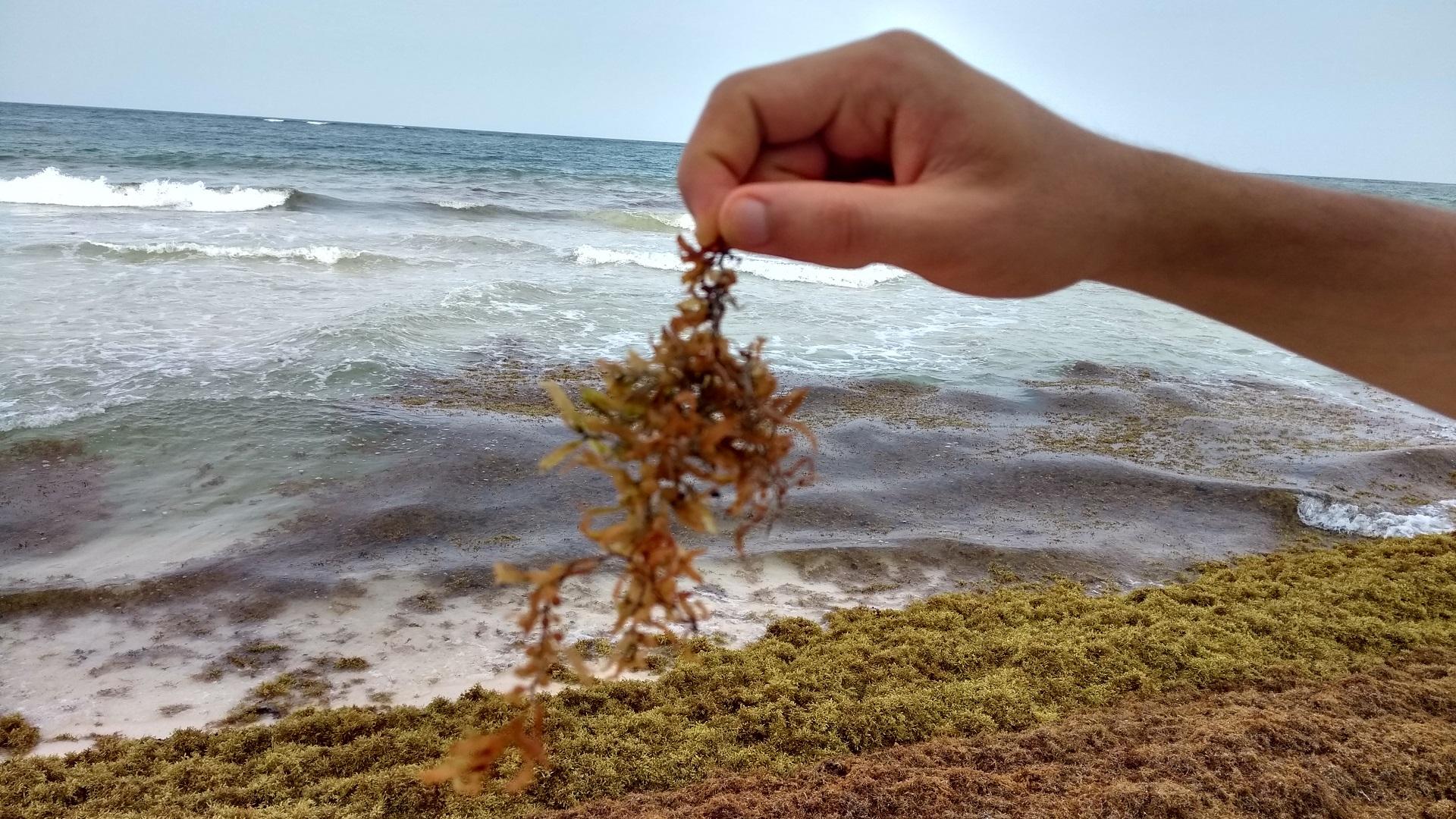 Macroalga de sargazo. Foto de LDD / Lidia Vargas