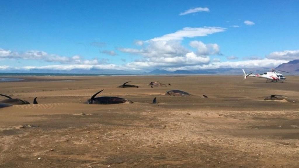Medio centenar de ballenas son encontradas muertas en una playa de Islandia