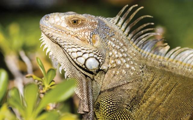 Autoridades de Florida piden a habitantes matar iguanas - Foto de Alexis Antonio @alexis_antonio