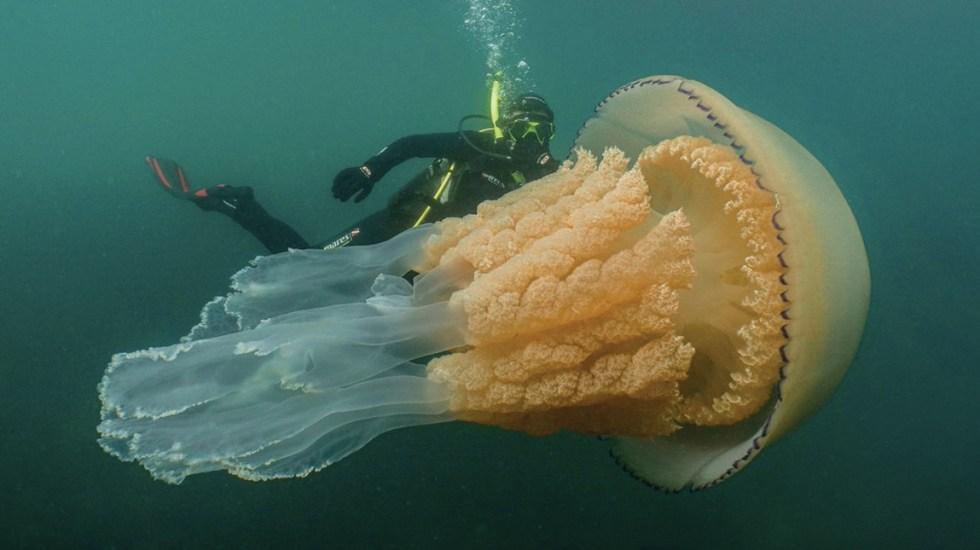 #Video Encuentran medusa del tamaño de una persona en Reino Unido - Foto de @LizzieRDaly