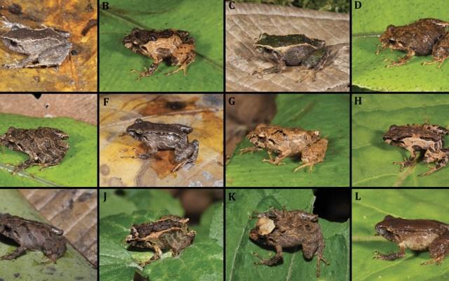 Descubren dos nuevos tipos de rana en Ecuador - Variedades de
