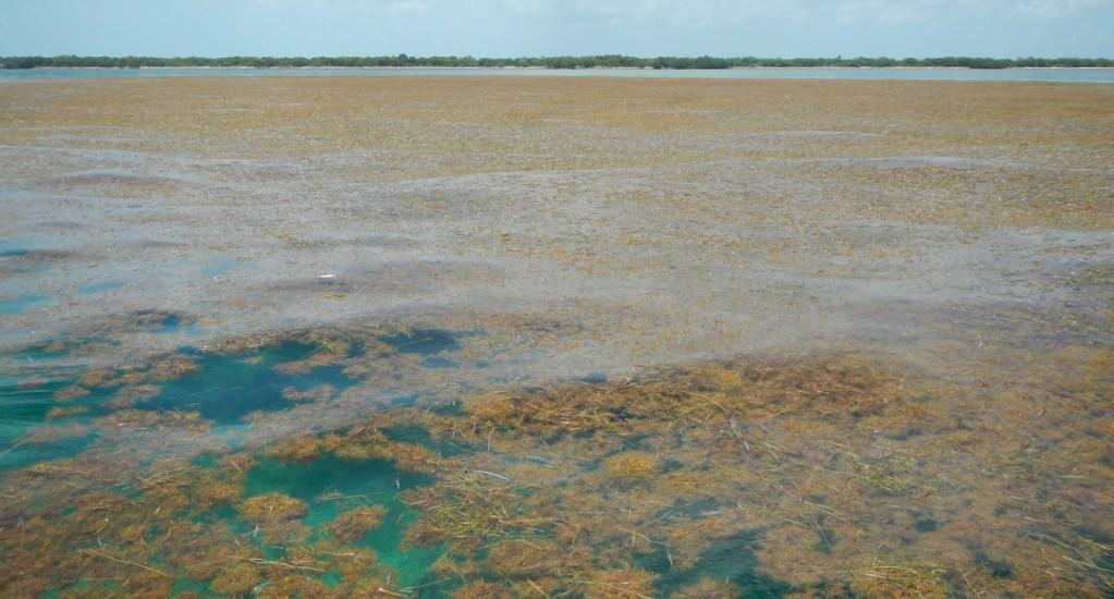 Sargazo llega a playas de Florida en un nivel mayor al año pasado - sargazo