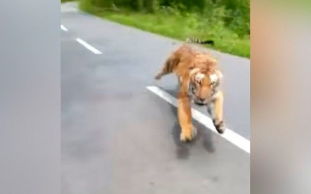 #Video Tigre ataca a dos motociclistas en India - tigre motociclistas