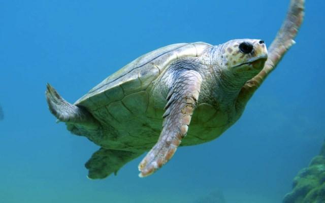 Más de la mitad de las tortugas del mundo ingirieron plástico: WWF - Tortuga marina mar agua