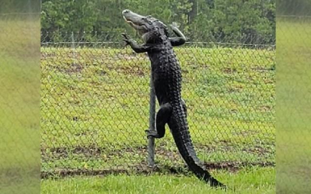 #Video Enorme cocodrilo salta valla en Florida - Cocodrilo salta enrejado metálico en Florida. Foto de @stinabear
