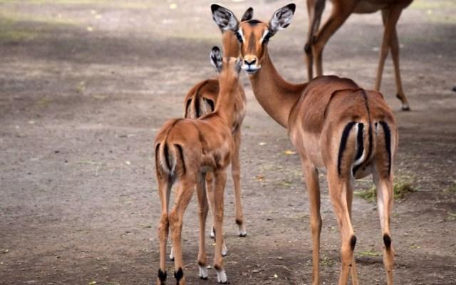 Nacen dos impalas en el Zoológico de Chapultepec - Crías de impala en el Zoológico de Chapultepec. Foto de Sedema