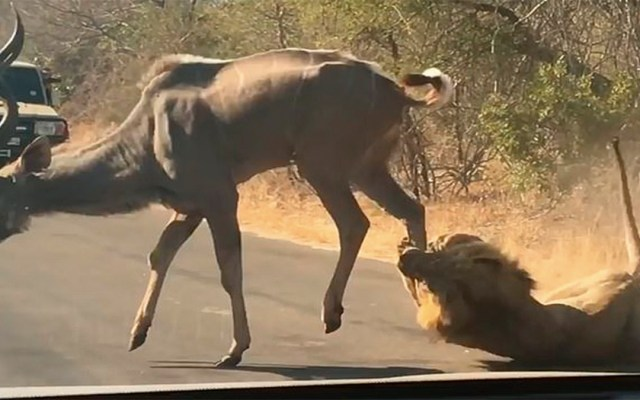 #Video León caza antílope frente a turistas en Sudáfrica - Foto de Kruger Sightings