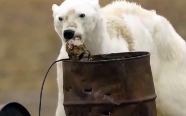 Cambio climático afectará dinámica de la vida como la conocemos - Oso polar famélico en busca de comida. Captura de pantalla