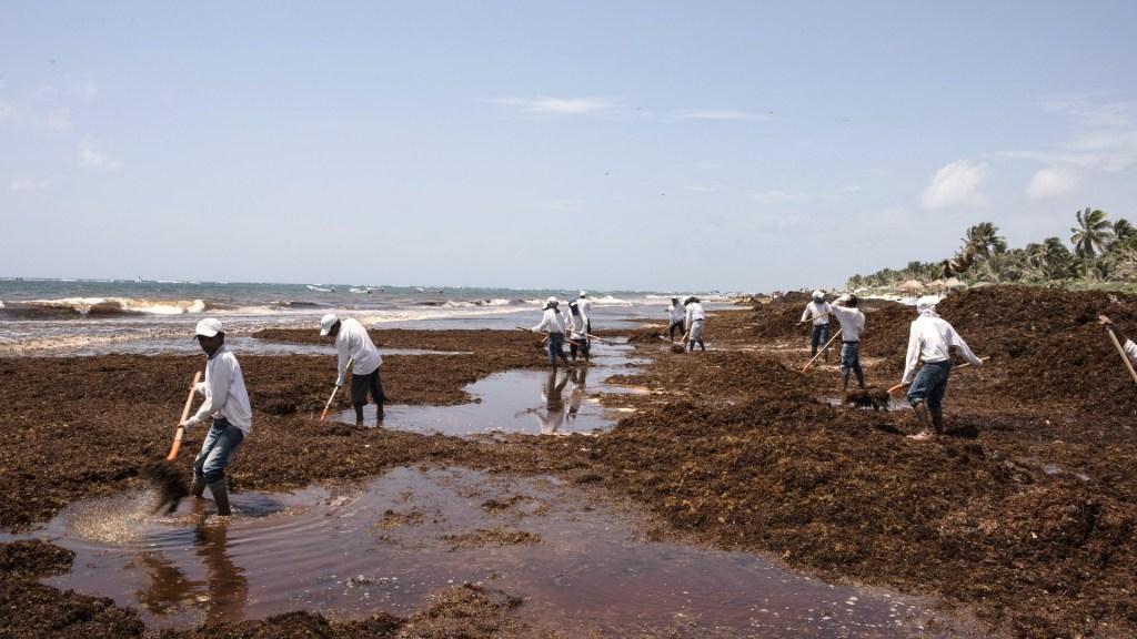 Sargazo contiene elementos dañinos para humanos y ecosistemas marinos, advierte estudio - Sargazo en el Caribe Mexicano. Foto de Notimex