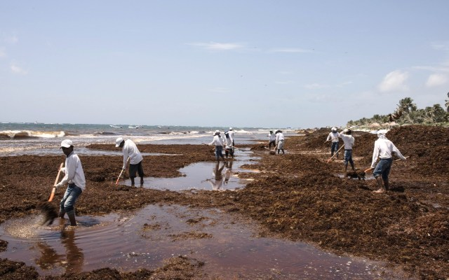 Semar descarta que sargazo en el Caribe esté contaminado - Sargazo en el Caribe Mexicano. Foto de Notimex