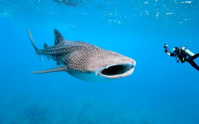 Filipinas identifica 104 nuevos ejemplares de tiburón ballena - Tiburón ballena