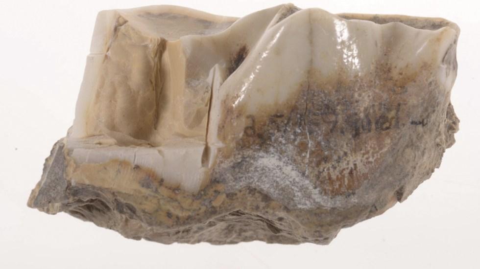 Obtienen datos genéticos de diente de rinoceronte - Foto de Museo de Historia Natural de Dinamarca