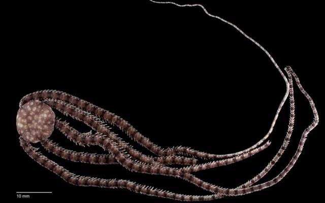 #Video Hallan nueva especie de equinodermo en Cozumel - Equinodermo Ophionereis commutabilis hallado en cueva de Cozumel. Foto de UNAM