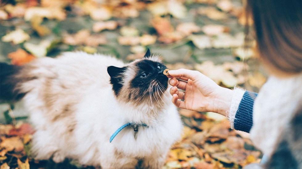 Gatos crean vínculos con sus cuidadores igual que perros y niños - gatos vínculo cuidadores