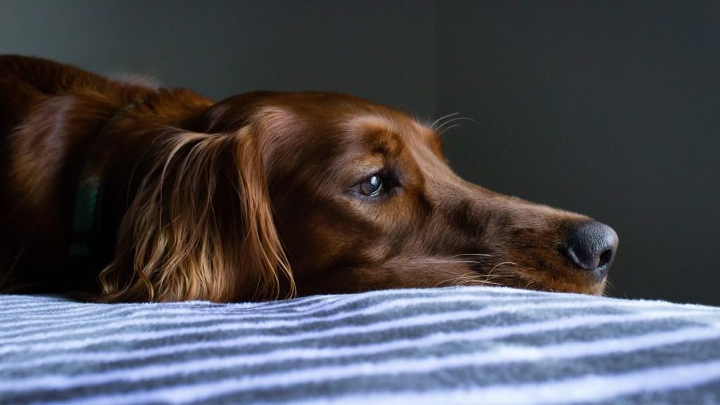 Llaman a no regalar animales de compañía en épocas decembrinas - Las mascotas tienen una sensibilidad auditiva y olfativa 100 veces mayor que la de humanos Animales
