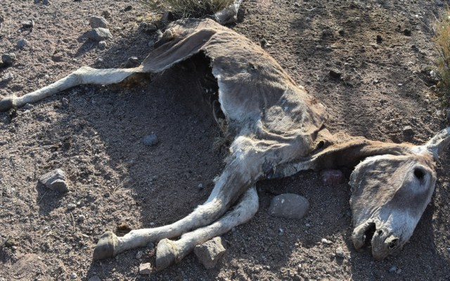 Buscan a autores de matanzas de burros en desierto de California - Foto de EFE