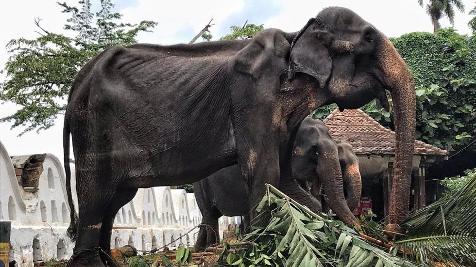 Murió Tikiri, la elefante famélica y esclavizada durante 70 años - Tikiri. Foto de Lek Chailert