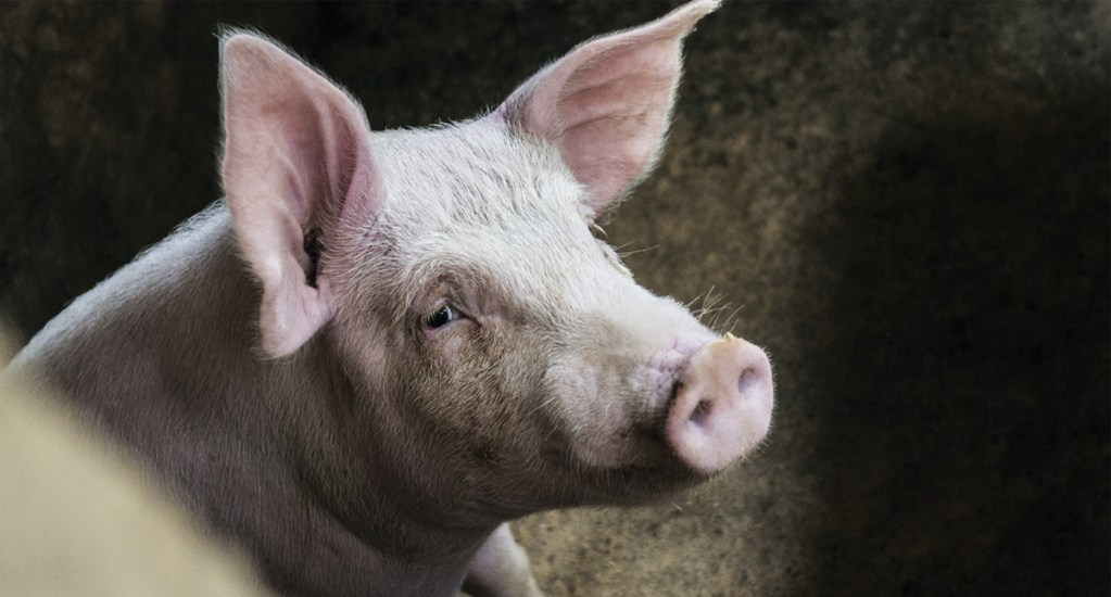 Peste podría terminar con cuarta parte de cerdos en el mundo - Foto de Phoenix Han @phienix_han