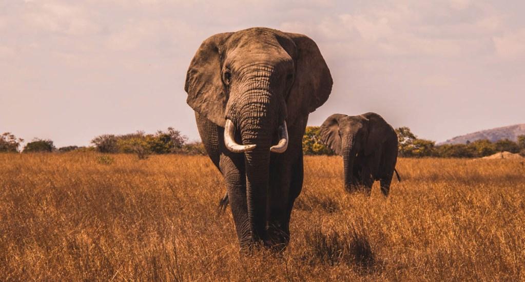 Suman 293 elefantes y 96 personas muertas en Sri Lanka - Elefante elefantes