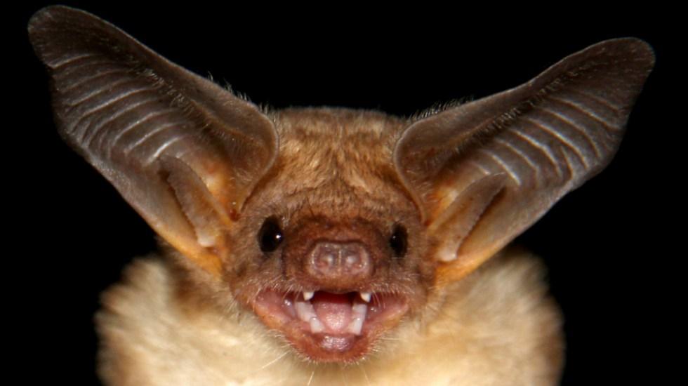 Murciélagos pueden ser usados como método de control de plagas en cultivos - Foto de Academia Mexicana de Ciencias
