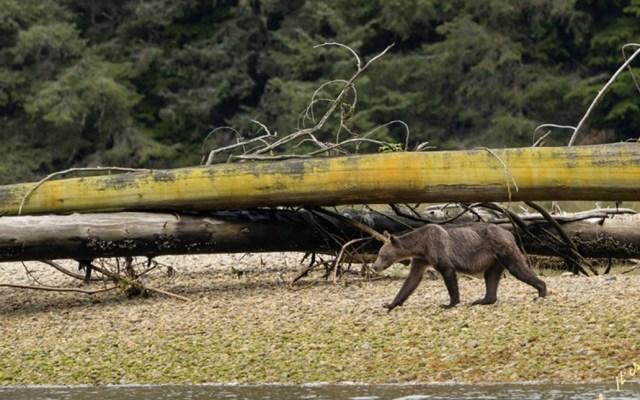 Captan a osos grizzly demacrados y hambrientos en Canadá - Foto de Facebook Rolf Hicker