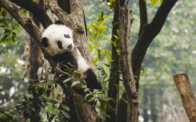 Nace cachorro de panda gigante en China - Foto de Theodor Lundqvist para Unsplash