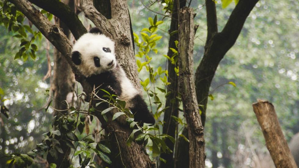 Dos crías hembras de pandas gigantes nacen en un zoo francés - Foto de Theodor Lundqvist para Unsplash
