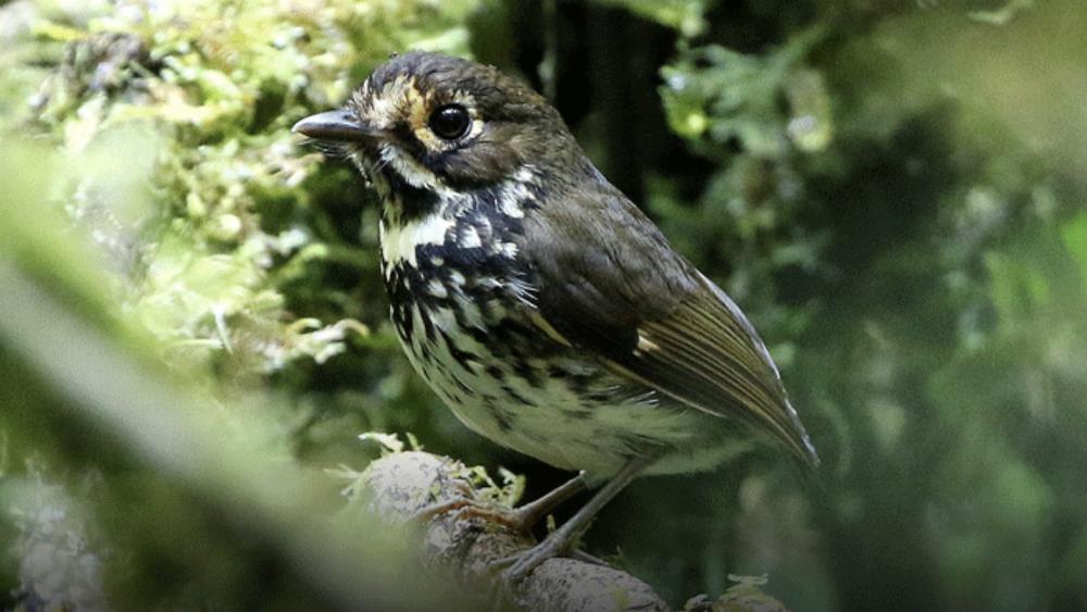Descubren nueva ave nativa de Colombia - Foto de @AlcaldiaDeCali