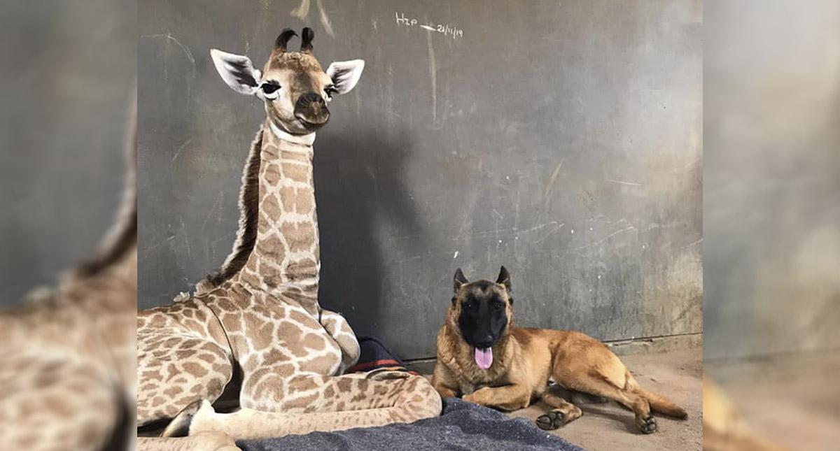 El perro que no se separa de bebé jirafa abandonada — Mejores amigos