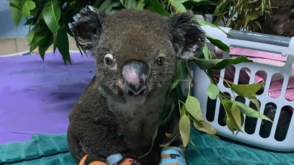Muere el koala rescatado durante incendio en Australia - Koala Lewis. Foto de @koalahospital