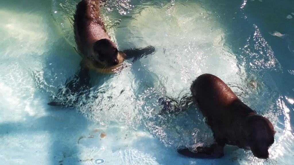 Lobos marinos rescatados en la Ciudad de México ya están en Chapultepec - Foto de Sedema