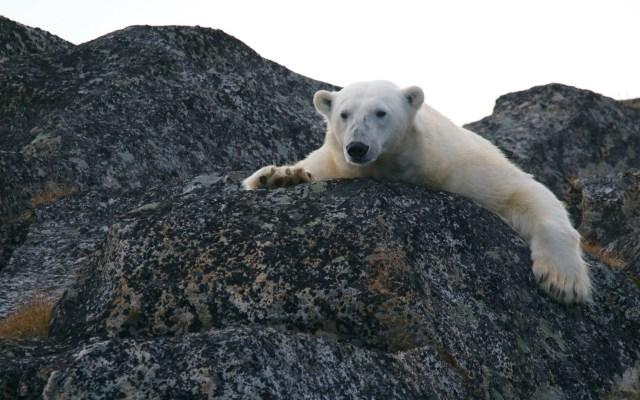 Osos polares se ven obligados a comer plástico en el Ártico - Oso polar. Foto de Andy Brunner / Unsplash
