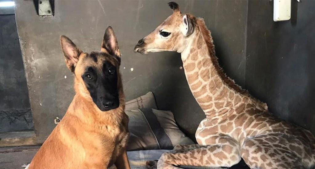 #Video Perro se convierte en guardián de jirafa huérfana - Perro cuida jirafa bebé. Foto de The Rhino Orphanage